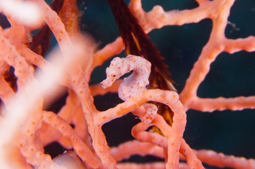 Pygmäen-Seepferdchen