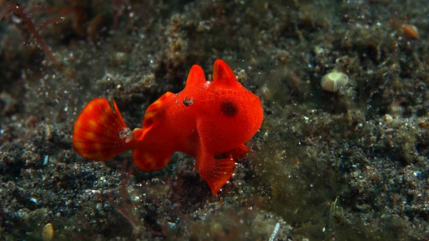 Frogfishmania - never stops at Lembeh