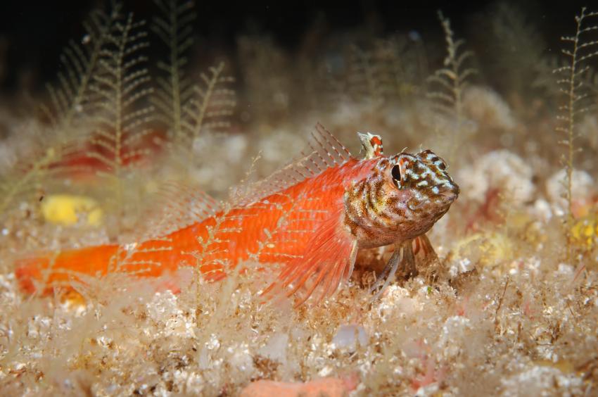 Korsika - MS Galiote, Korsika,Frankreich,Zwergspitzkopf-Schleimfisch - Tripterygion melanurum