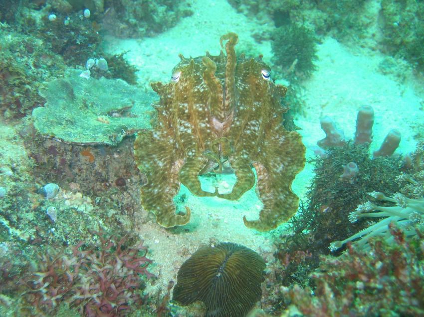 Boracay, Boracay,Philippinen,Oktopus,krake,mimikry,verteidigung