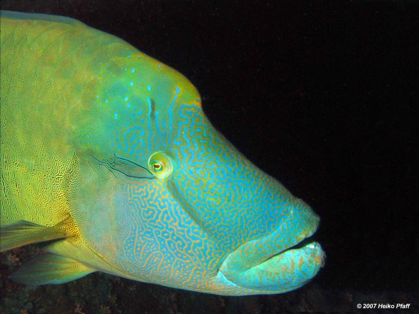 Fishead, Ari Atoll mit MY Hammerhead 2, Fishead,Ari Atoll,Malediven,Napoleon
