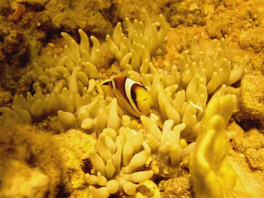 Sharm el Sheikh - Sharks Bay, Shark Bay - Sharm el Sheikh,Ägypten,anemonfisch,kinderstube,anemone,clownfisch,nemo