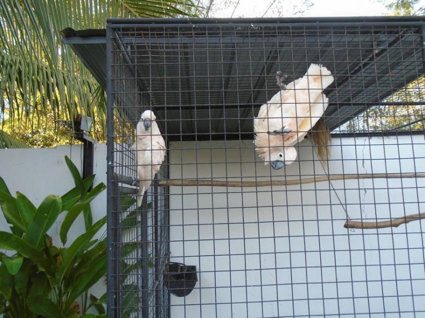Kakadus, Kakadus, Parrot Resort Moalboal, Philippinen