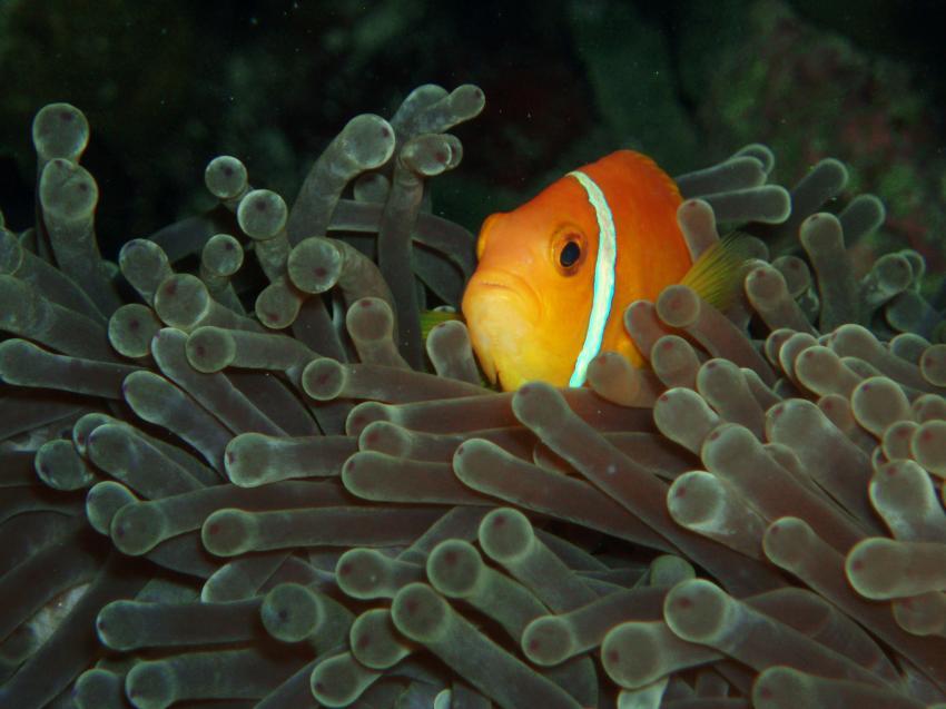 Helengeli, Helengeli,Malediven,Anemonenfische