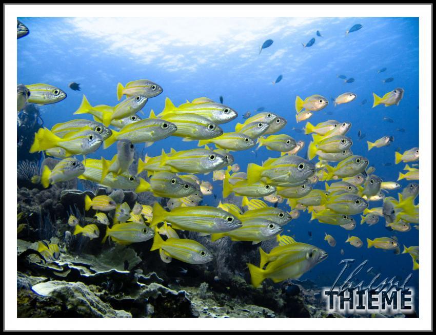 West-Papua Raja Ampat, West-Papua Raja Ampat,Indonesien,Schwarm,gelb