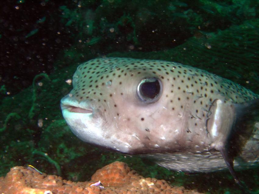 Store Bay; Kariwak; Tobago, Store Bay,Kariwak,Trinidad und Tobago,Igelfisch,Diodontidae