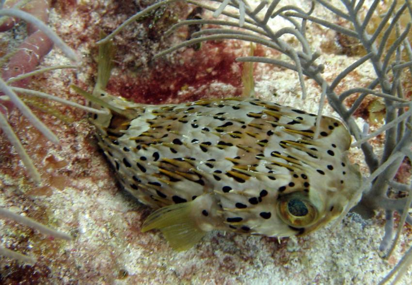 Islamorada, Islamorada,Florida,USA,Ballon-Igelfisch,Diodontidae