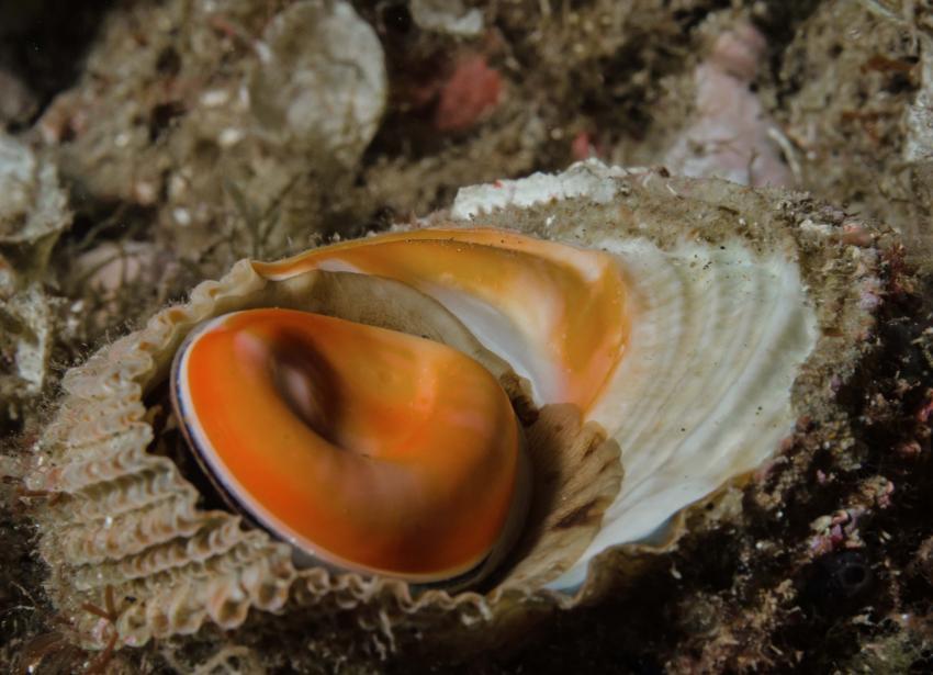 Muschel, Stollis Tauchbasis, Tamariu, Costa Brava, Spanien, Spanien - Festland