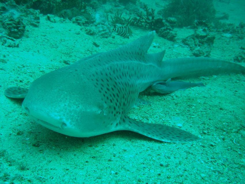 Phi Phi Island Nationalpark, Phi Phi Islands,Thailand,ammenhai,leopardenhai