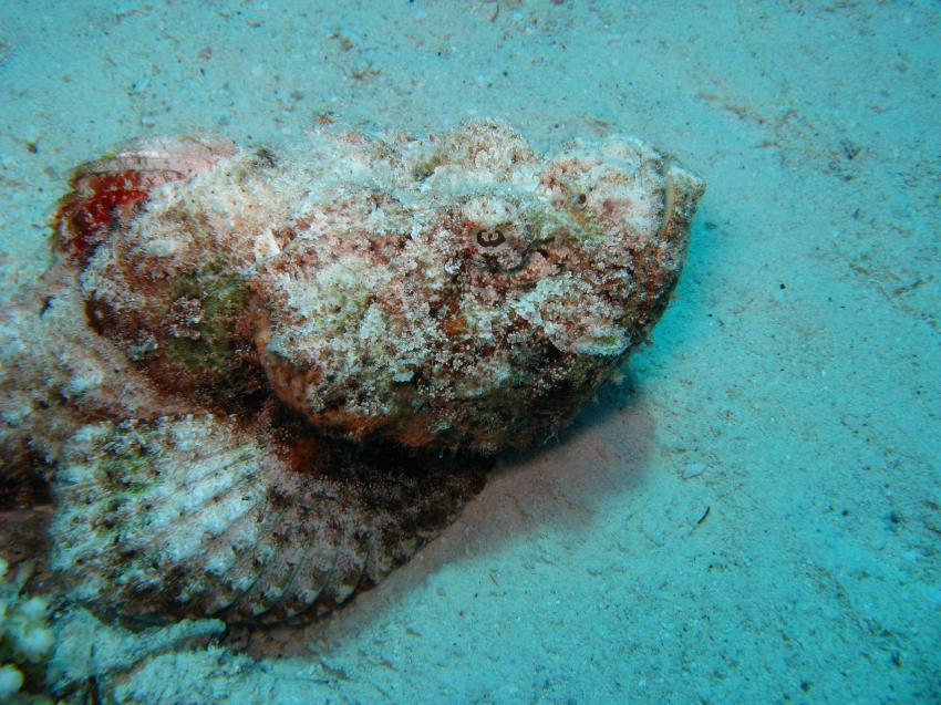 Anglerfisch und mehr, Safaga ORCA - Dive Clubs,Ägypten