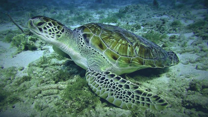 Turtle, Coral Divers, Niederländische Antillen, Curaçao