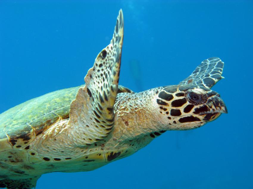 Pandan / Apo Reef, Apo Reef / Pandan Island / Sablayan / Philippinen,Philippinen,Meeresschildkröte