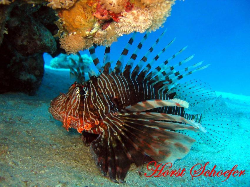 Safaga - Abu Hashish, Abu Hashish (Hurhada),Ägypten,rotfeuerfisch