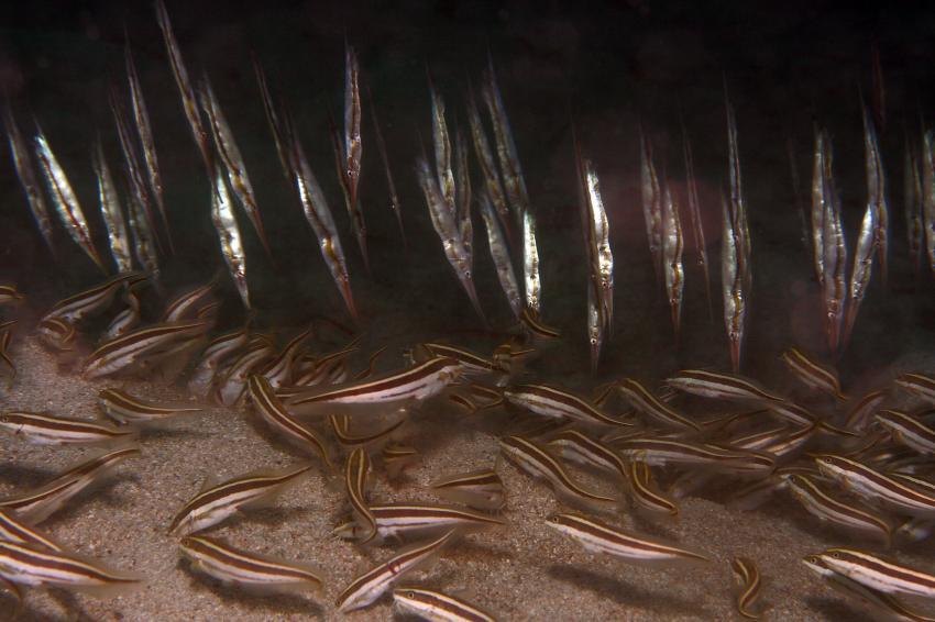 Pulau(= Insel) Sahaung (Bangka Archipel), Pulau Sahaung,Indonesien,Gestreifte Korallenwelse (Plotosus lineatus)+ Gestr.Schnepfenmesserfische (Aeoliscus strigatus),Blue Bay