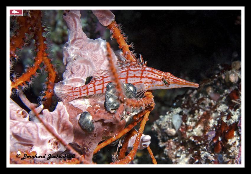 Bilder aus Selayar, Sued Sulawesi,Selayar,Indonesien,LaNaBüBa,Langnasenbüschelbarsch