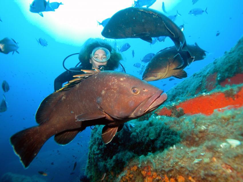 Zackenbarsch, Zackenbarsch, Sardinian, Dive, Orso diving, Orso Diving Club (Sardinien), Italien, Sardinien
