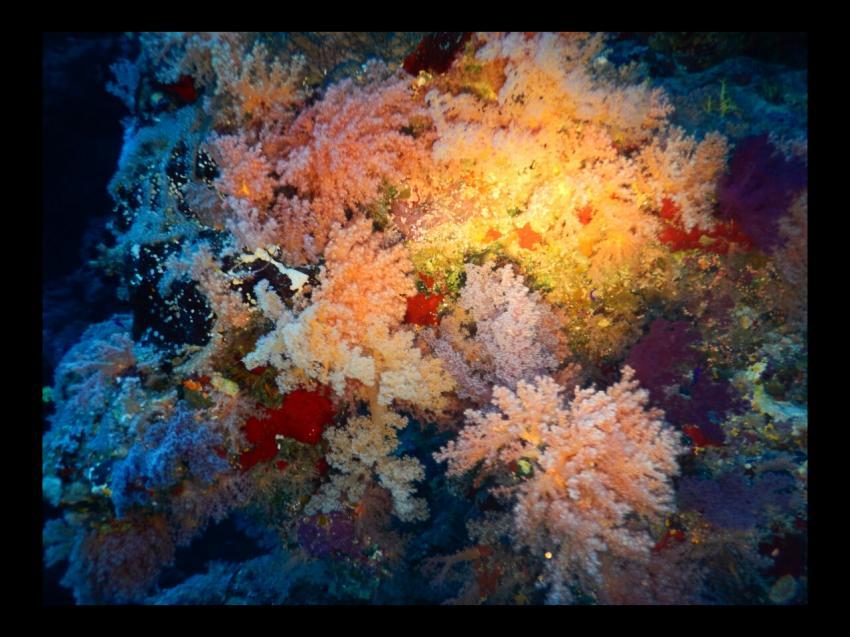 Korallen satt, Dive In, Hotel Renaissance Golden View Beach Resort, Sharm El Sheikh, Ägypten, Sinai-Süd bis Nabq