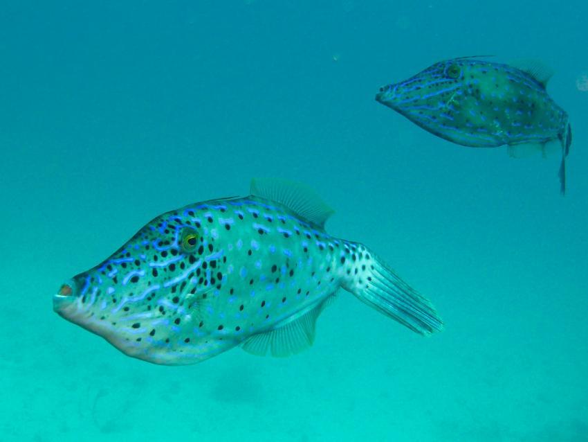 Bonaire, Niederländische Antillen, Feilenfisch