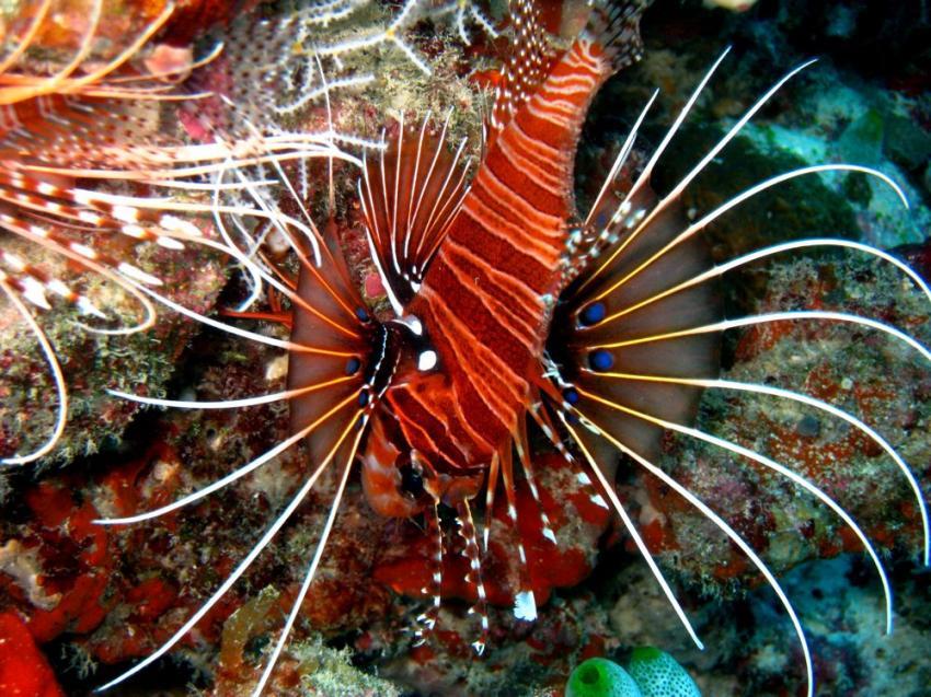 Vilu Reef, Vilu Reef,Malediven,rotfeuerfisch