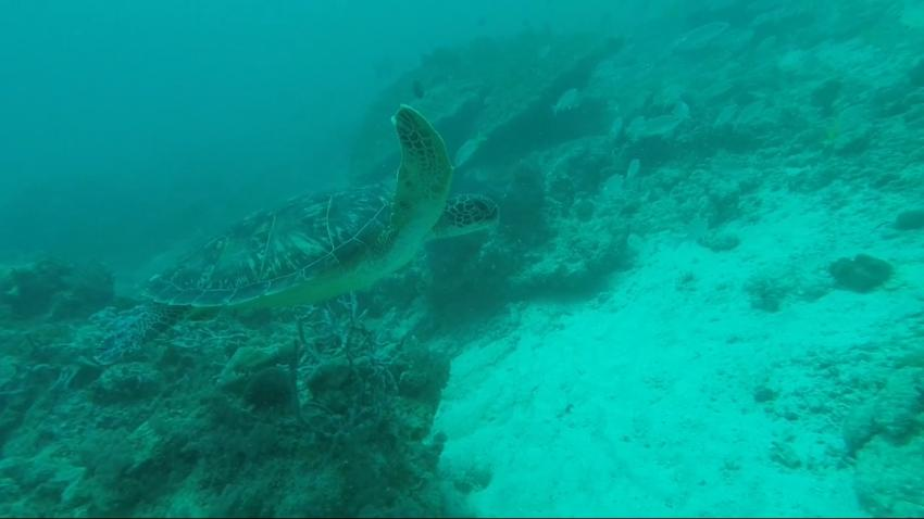 Green Turtle @ Coral Garden, Diving Poseidon, Nungwi - Sansibar, Tansania