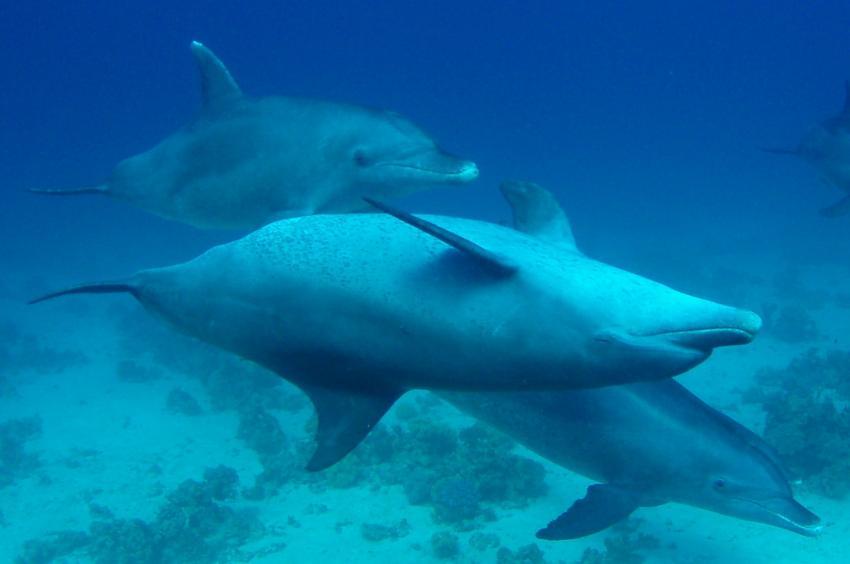 Hurghada - Fanus West, Fanus West,Hurghada,Ägypten,Delfine,Cetacea