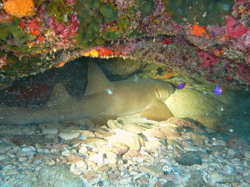Verschiedene Tauchplätze, Bonaire,Niederländische Antillen,ammenhai,schlafen,höhle