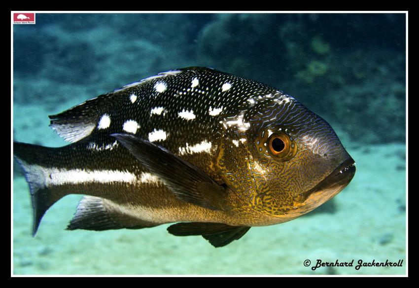 Bilder aus Selayar, Sued Sulawesi,Selayar,Indonesien,Macolor macularis - Midnight snapper - Gelbaugen-Schnapper