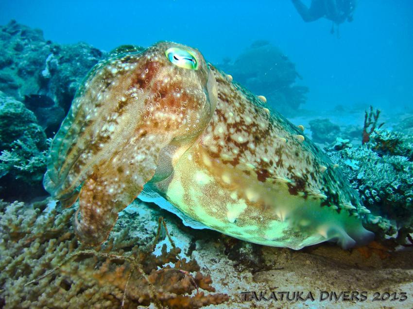 Takatuka Divers Galerie, Sipalay,Philippinen,Oktopus