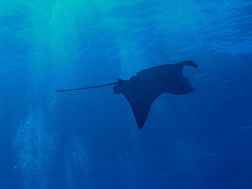 Blue Hole und New Drop Off, Blue Hole und New Drop Off,Palau,adlerrochen