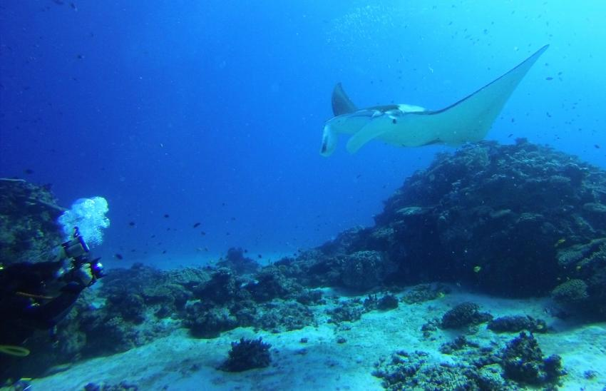 Manta, Lady Elliot Island Eco Resort, Australien