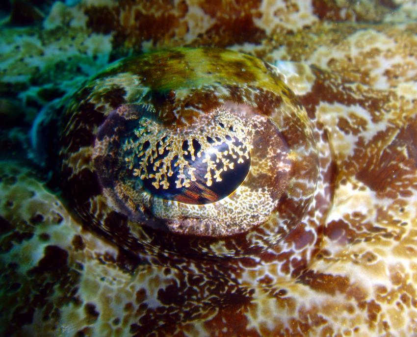 Tofo, Tofo,Mosambik,Auge Krokodilfisch,Makro