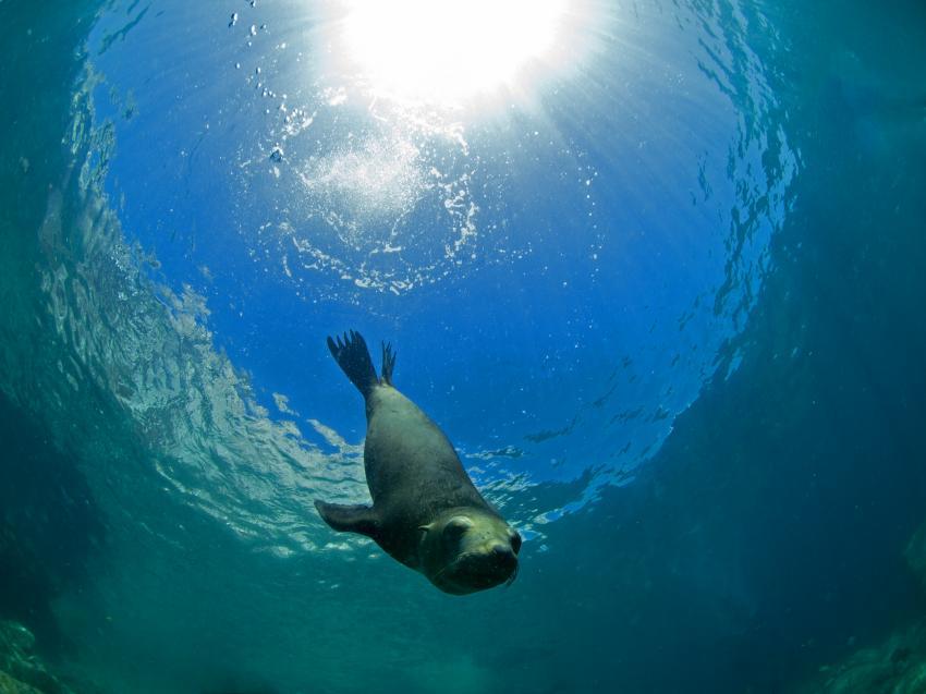 Seelöwenkolonie, Los Islotes/ Baja California,Mexiko,Los Islotes,Baja California,Robbe