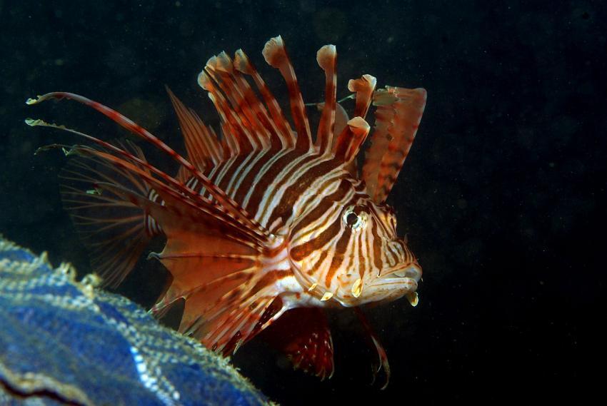 Secret Bay, Secret Bay,Bali,Indonesien,Rotfeuerfisch,Nachttauchgang