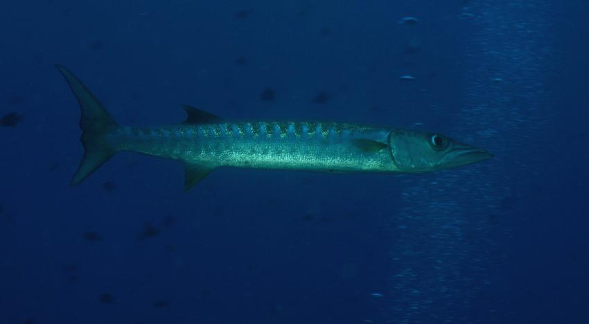 Palau Aggressor 2, Palau und Yap allgemein,Palau,Barrakuda
