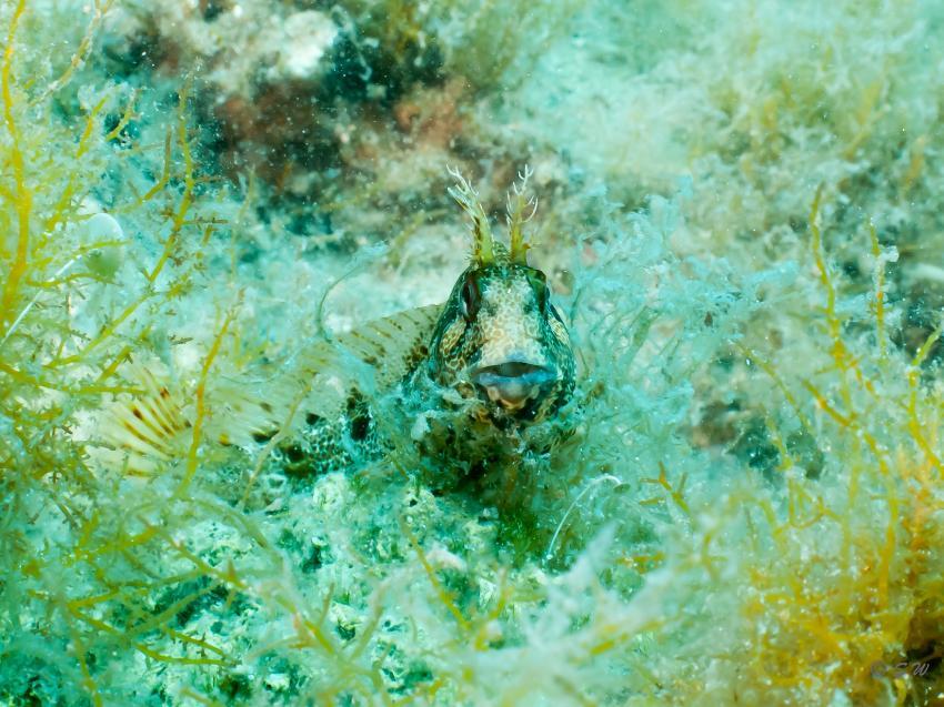 Schleimfisch, Schleimfisch, Styria Guenis Diving Center, DIE Tauchbasis auf der Insel Krk, DIE Tauchbasis auf der Insel Krk, Styria Guenis Diving Center, Kroatien