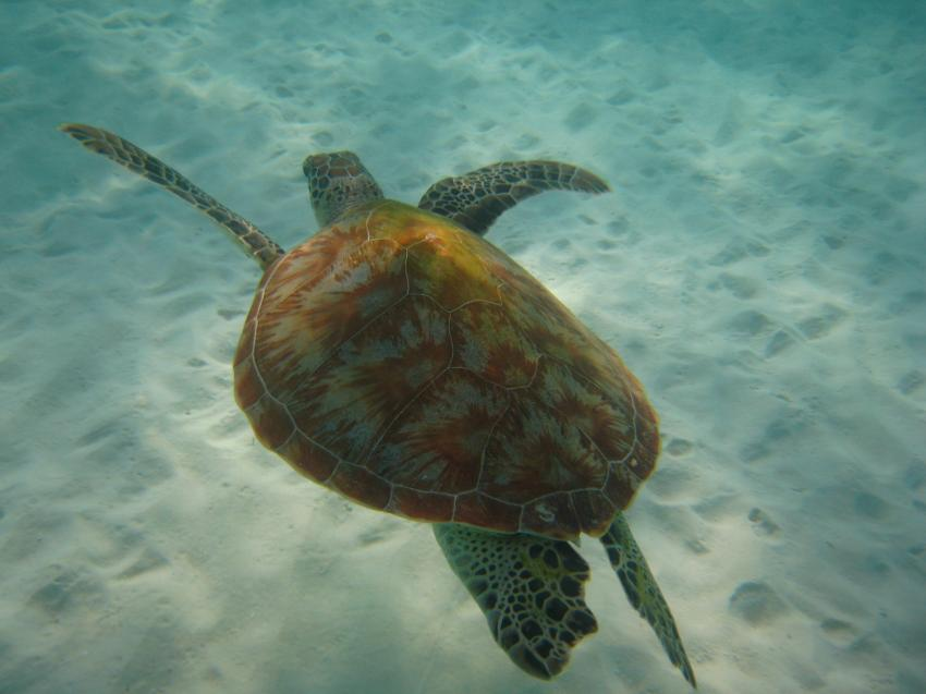 Kuredu - Lhaviyani Atoll, Kuredu,Malediven,Schildkröte