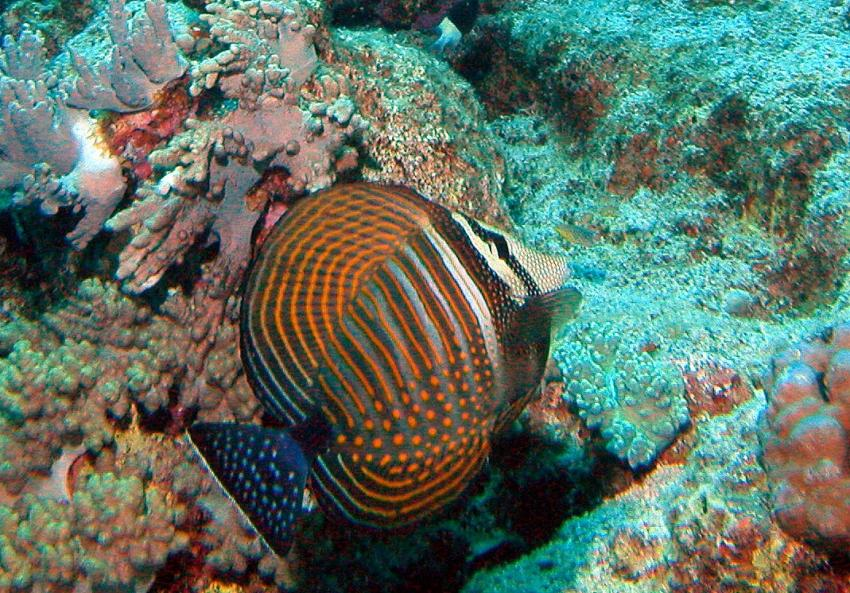 Zabargad Hausriff, Zarbagad,Ägypten,Segelflossen-Doktorfisch,Zebrasoma desjardinii
