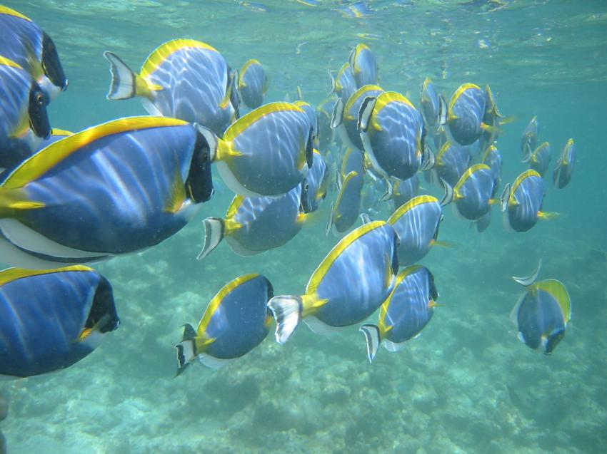 Velidhu (Nord Ari Atoll), Velidhu,Malediven,Doktorfische,schwarm