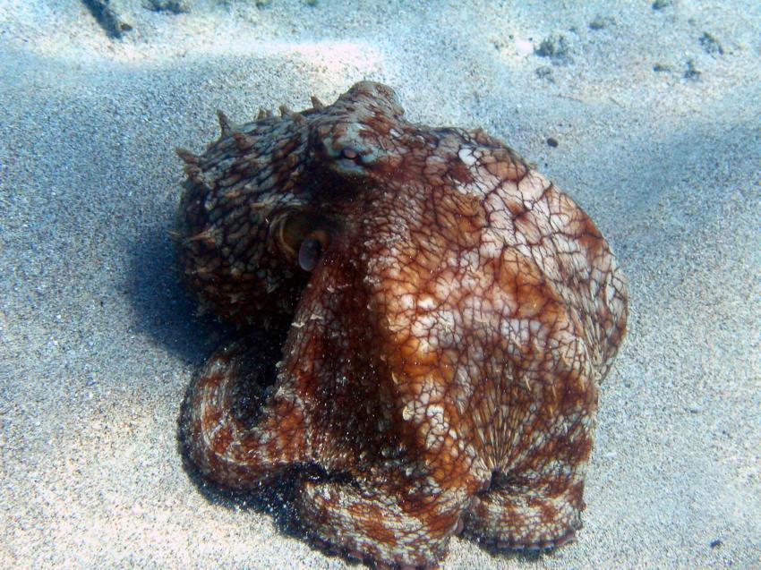 Curacao, Curacao,Curaçao,Niederländische Antillen,Oktopus,Krake