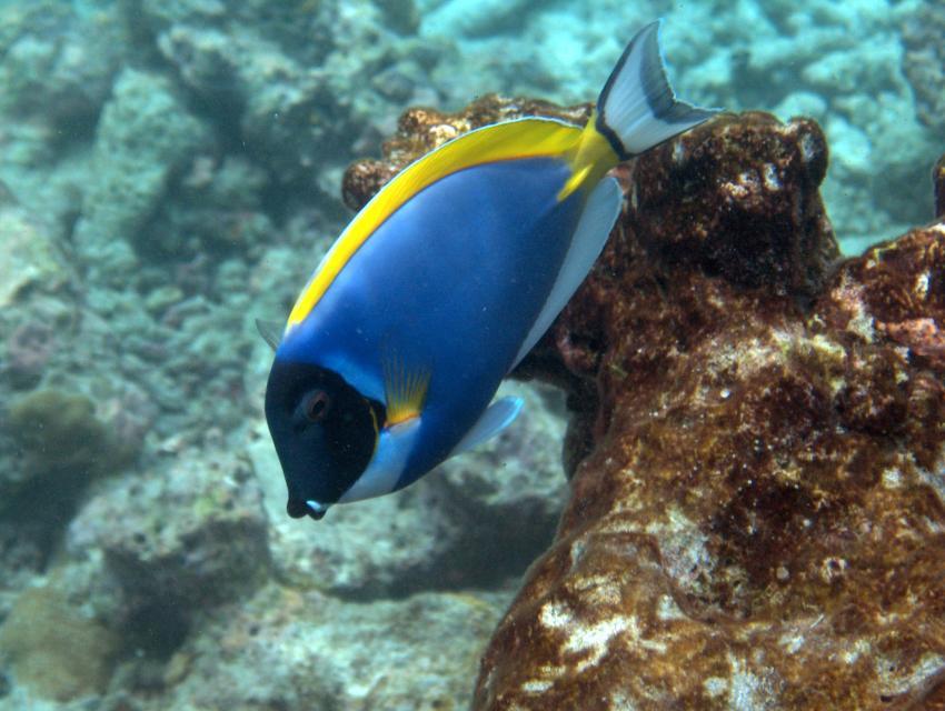 bolifushi house reef, blue canyon, Bolifushi,Malediven,Weißkehldoktorfisch