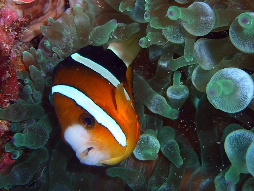 Aberratin Dive Club, Hausriff, Aberratin Dive Club,Hausriff,Philippinen,Anemonenfische