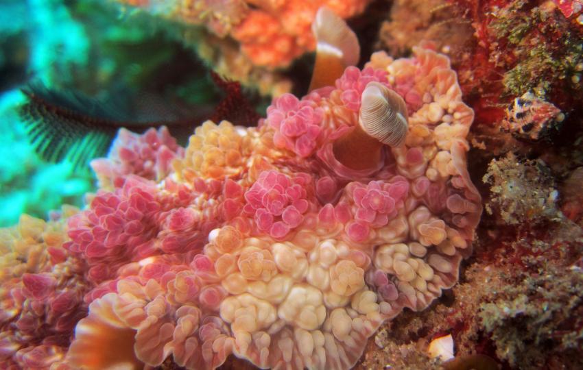 reef beauty, Tofoscuba, Tofo, Mosambik