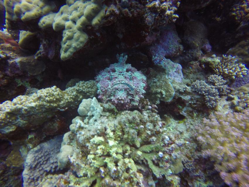 Steinfisch, Wonderful Dive, Akassia LTI & Calimera, Ägypten, El Quseir bis Port Ghalib