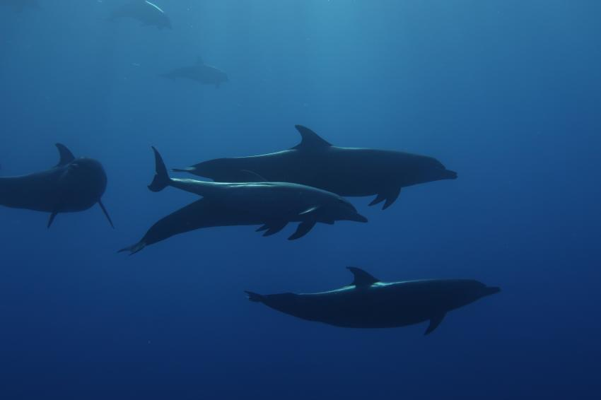 Delphine bei Shaab Maksur, MY Red Sea Explorer - Extra Divers , Ägypten