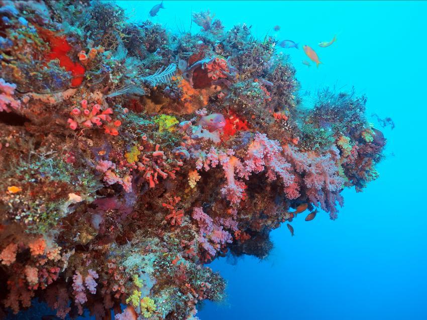 farbenprächtig , Süd-Arie Atoll, Shameen Tila, Weichkorallen, Süd Ari-Atoll, Malediven