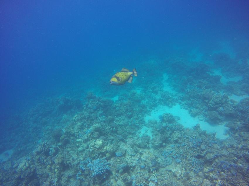 Riesen-Drückerfisch, Wonderful Dive, Akassia LTI & Calimera, Ägypten, El Quseir bis Port Ghalib