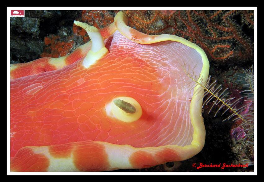 Bilder aus Selayar, Sued Sulawesi,Selayar,Indonesien,Nacktschnecke,orange,Kopf
