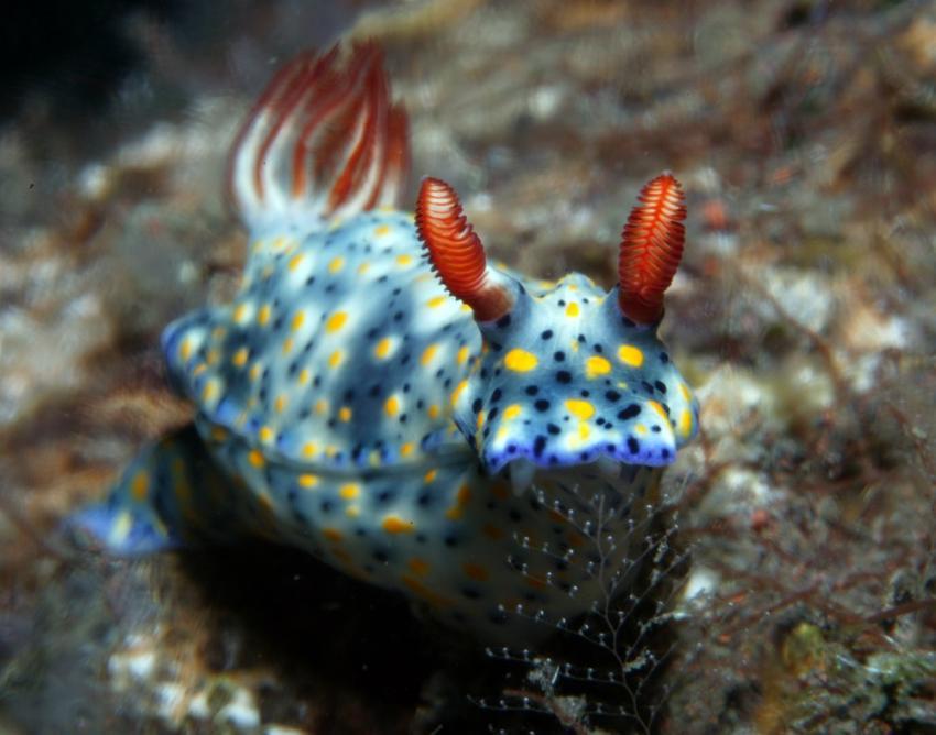 Nudibranch, Blue Season Bali, Indonesien, Bali