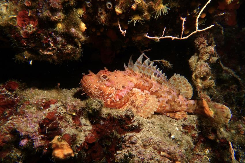 Drachenkopf, Mittelmeer, Adria, Najada diving, Murter, Kroatien