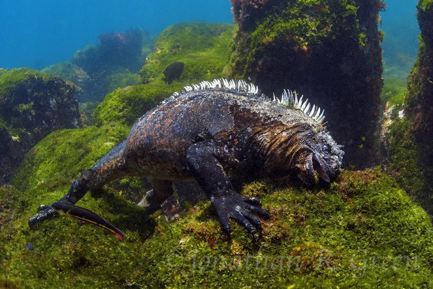 Meeresechse, Meeresechse, Meerleguan, Leguan, Cape Douglas, Ecuador, Galapagos
